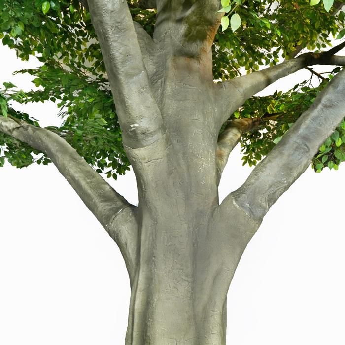 5m Tall Decorative Ficus Tree Outdoor